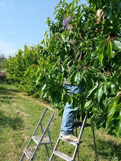recolectando cerezas