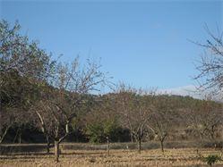 Campo de almendros, integrados en el paisaje.