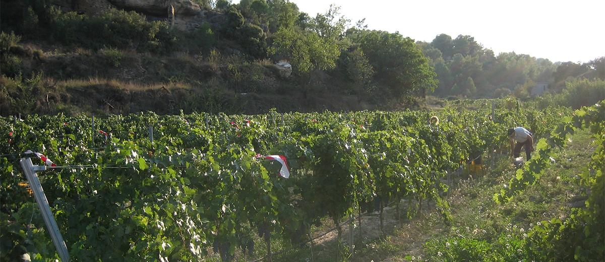 Finca de viñedos